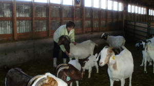 Goats love Reiki